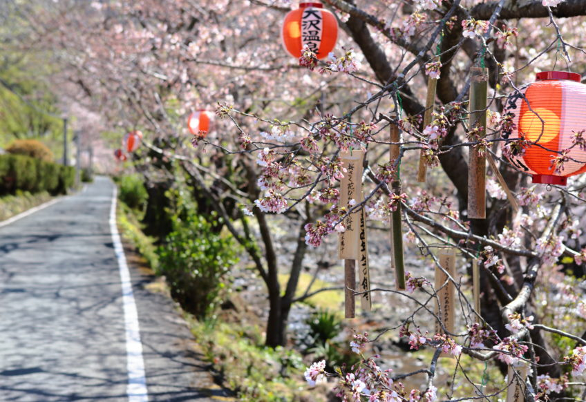 西伊豆松崎町大澤温泉の桜